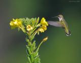 _NW87955 Hummingbird.jpg