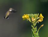 _NW87968 Hummingbird.jpg