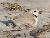 _NW86143 Piping Plover Parent and Chick on Nest.jpg