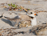 _NW86168 Piping Plover on Nest with Chicks.jpg