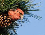 _NW86166 White Wing Crossbill