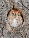 _JF00228 Red Morph Screech Owl.jpg