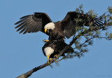 _NW07300 Bald eagles Mating