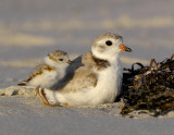 piping_plover_examples