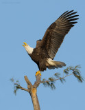 _NW07821 Female Bald Eagle Arriving