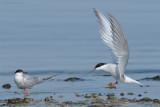 _NW00515 Common Tern landing