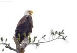_NW05681 Bald Eagle Female Backlit