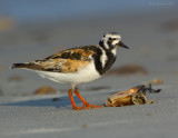 _JFF3342 Ruddy Turnstone Beach Sand.jpg