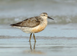 _JFF0134 Adult Red Knot First Returning.jpg
