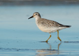 _JFF0316 Red Knot on Sand Flat.jpg