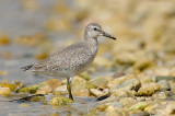 _JFF0488 Red Knot Bay Side.jpg