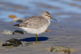 _JFF0598 Red Knot on Sand Flat.jpg
