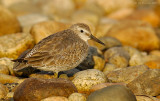 _JFF2851 Red Knot Late Afternoon Bay Rubble.jpg