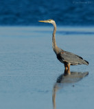 great_blue_herons