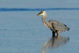 _JFF9828 Great Blue Heron Bay.jpg
