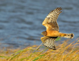 northern_harriers