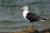 _JFF2407 Black Back Gull Bay Side.jpg