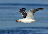_JFF3394 Gull With Crab.jpg