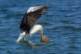 _JFF3819 Black Back Gull In Water With Skate.jpg