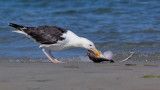 _JFF3850 Black Back Gull Eating Skate.jpg