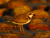 semipalmated_plovers