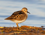 _NW83593 Least Sandpiper at Dawn.