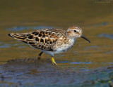 _NW83699 Least Sandpiper