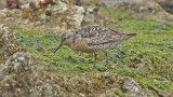 Red Knot, prebasic adult (#1 of 2)