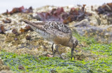 Red Knot, prebasic adult (#2 of 2)