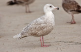 POSSIBLE GLAUCOUS-WINGED X GLAUCOUS GULL
