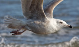 Glaucous x Herring Gull hybrid (Nelson's), 2nd cycle (2 of 2)