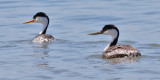 Clarke's Grebe (left) with Western Grebe, alternate adults (#2 ofd 2)