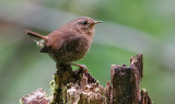 Pacific Wren (#1 of 2)