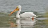 American White Pelican, alternate