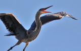 Great Blue Heron, alternate adult