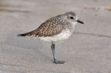 Black-bellied Plover, immature