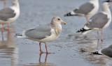 Presumed Glaucous-winged x Herring Gull, basic adult