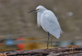 Snowy Egret, prebasic adult