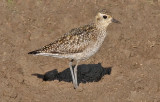 Pacific Golden Plover,  basic (#1 of 2)
