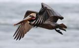 Brown Pelican, alternate adult (#1 of 2)