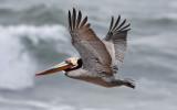 Brown Pelican, alternate adult (#2 of 2)