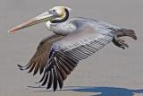 Brown Pelican, prealternate adult