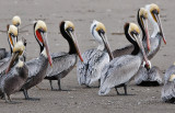 Brown Pelicans, alternate, prealternate and non-breeding adults