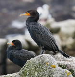 Double-crested Cormorants, prealternate