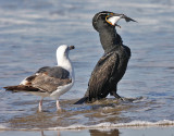 Double-crested Cormorant, alternate, with 2nd cycle Western Gull