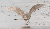 probable Glaucous-winged x Glaucous Gull, 1st cycle (2 of 3)