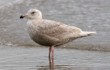 presumed Glaucous-winged x Glaucous Gull, 1st cycle (1 of 3)