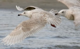 probable Glaucous-winged x Glaucous Gull, 1st cycle (3 of 3)
