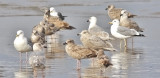 probable Glaucous-winged x Glaucous Gull (center right), 1st cycle