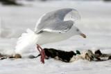 probable Glaucous x Herring Gull backcross adult aka Nelson's Gull (#1 of 2)